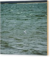 A Forster Tern Fighting The Winds Out At Sea Wood Print