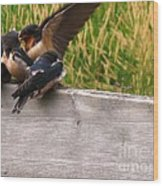 A Fourth Baby Barn Swallow Wants In On Lunch Wood Print