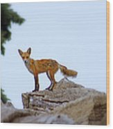 A Fox On The Rocks Wood Print