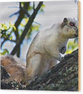 A Fox Squirrel Pauses Wood Print