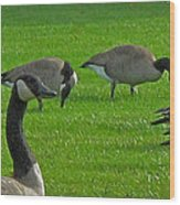 A Gaggle Of Geese Wood Print
