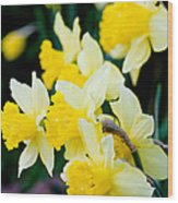 A Gathering Of Daffodils Wood Print