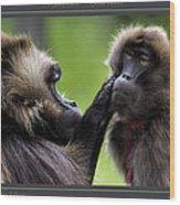 A Gentle Caress   Gelada Baboons Wood Print