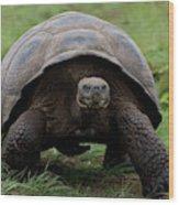 A Giant Tortoise Walks Along The Rim Wood Print