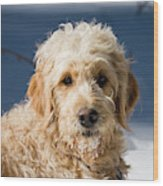 A Goldendoodle Lying In The Snow Bathed Wood Print