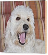 A Goldendoodle Lying On A Lawn Chair Wood Print