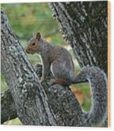 A Gray Squirrel Pose  Wood Print