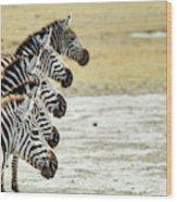 A Grevys Zebra In Ngorongoro Crater Wood Print