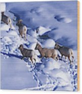 A Group Of Bighorn Sheep Ovis Wood Print
