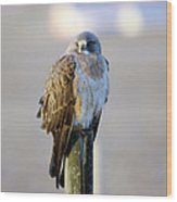 A Hawk On A Fence Post  Wood Print