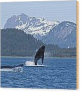 A Humpback Whale Calf Breaches As Its Wood Print