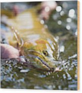 A Large Cutthroat Being Released Wood Print