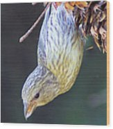 A Little Bird Eating Pine Cone Seeds  Wood Print by Jeff Swan