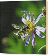 A Little Nectar Seeking Fruit Fly Wood Print