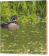 A Lone Male Wood Ducks Wood Print