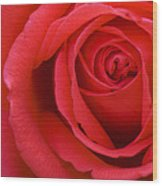 A Lovely Red Rose Wood Print