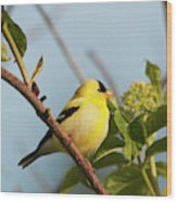 A Male American Goldfinch  Carduelis Wood Print