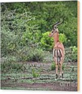 A Male Impala In Lake Manyara National Park. Tanzania. Africa. Wood Print