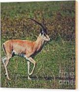A Male Impala In Ngorongoro Crater. Tanzania Wood Print