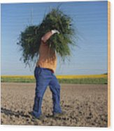 A Man Harvests Sedge To Be Used Wood Print