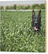 A Military Working Dog Sits In A Field Wood Print by Stocktrek Images