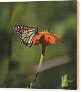 A Monarch Butterfly 1 Wood Print