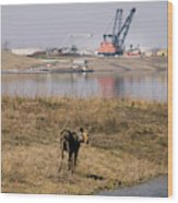 A Moose Walks On The On Reclaimed Land Wood Print