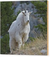 A Mountain Goat Stands On A Grassy Wood Print
