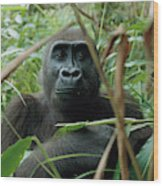 A Once Captive Gorilla Is Now Wood Print