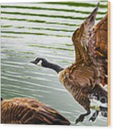 A Pair Of Canada Geese Landing On Rockland Lake Wood Print