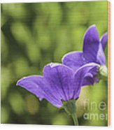 A Pair Of Purple Balloon Flowers Wood Print