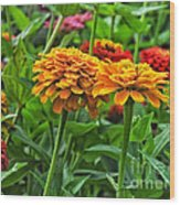 A Pair Of Yellow Zinnias 03 Wood Print