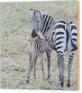 A Plains Zebra, Equus Quagga, Nursing Wood Print