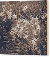Clusters Of Daffodils In Sepia Wood Print