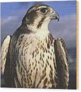 A Prairie Falcon At Dusk Wood Print