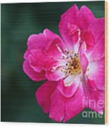 A Pretty Pink Rose Wood Print