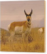 A Pronghorn Gazes Wood Print