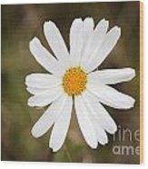A Rain Spattered Daisy Wood Print