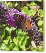 A Red Admiral On A Purple Budlier Wood Print