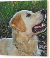 A Retriever's Loving Glance Wood Print