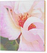 A Rose Unfurls Wood Print