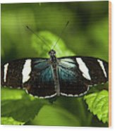 A Sara Longwing Butterfly Heliconius Wood Print