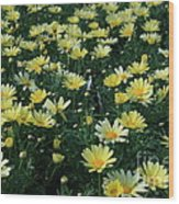A Sea Of Yellow Daisys Wood Print