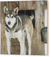 A Sled Dog Stands By Its Kennel Wood Print