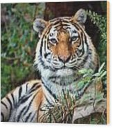 A Tigers Glance Wood Print
