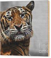 A Tiger's Look Wood Print