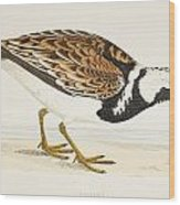 A Turnstone. Arenaria Interpres. From A Wood Print