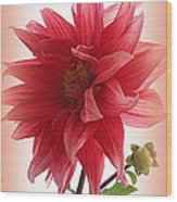 A Vision In  Coral - Dahlia Wood Print