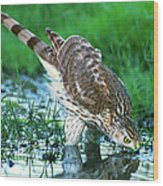 A Wild Juvenile Cooper's Hawk Drinks From A Pond Wood Print