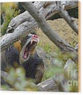 A Yawning Mandrill  Wood Print
